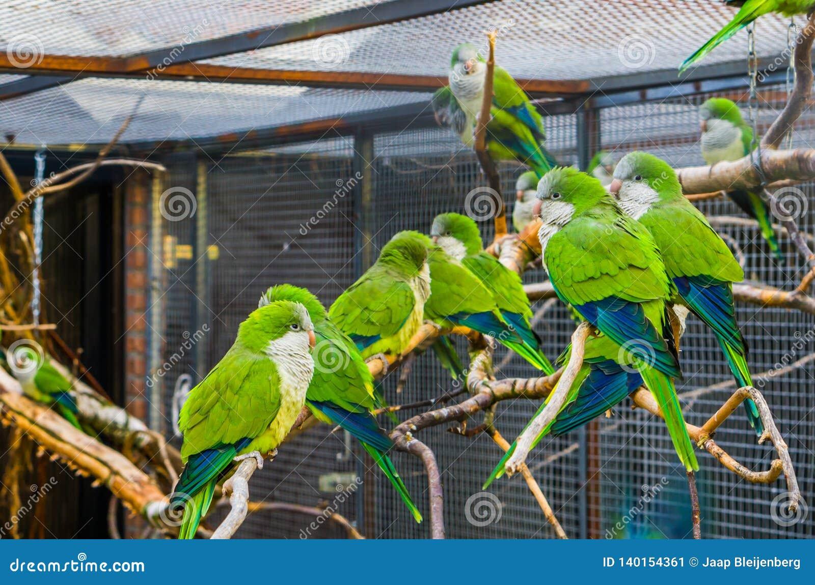 Duża grupa michaelitów parakeets siedzi wpólnie na gałąź w wolierze, Popularni zwierzęta domowe w ptasznictwie, tropikalni ptaki