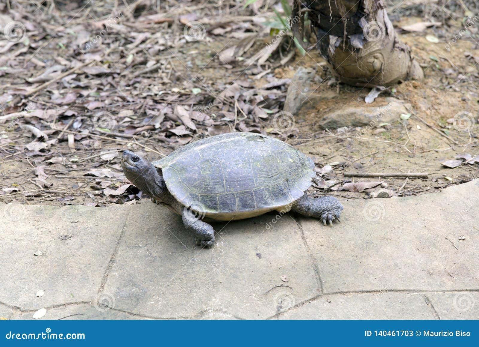Duży żółw przy Vietnam parkiem narodowym