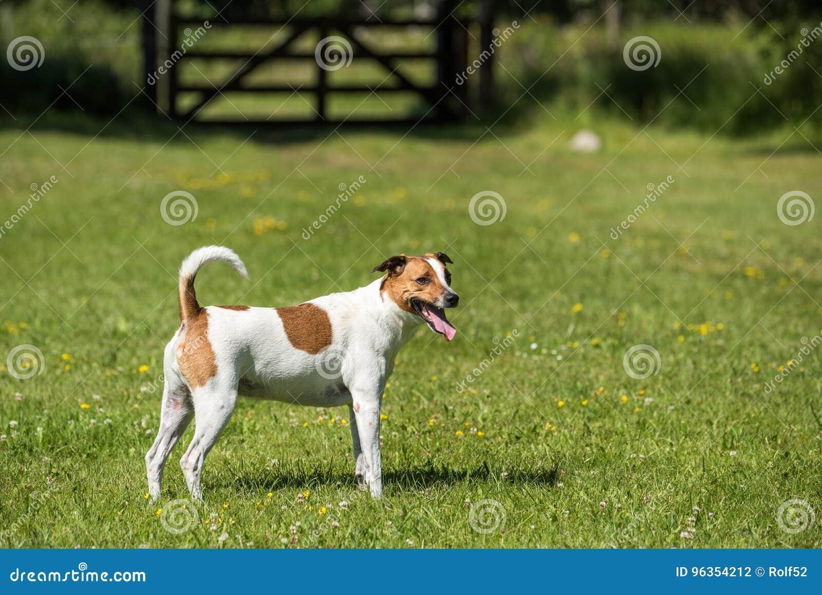 Duńscy szwedzi Farmdog