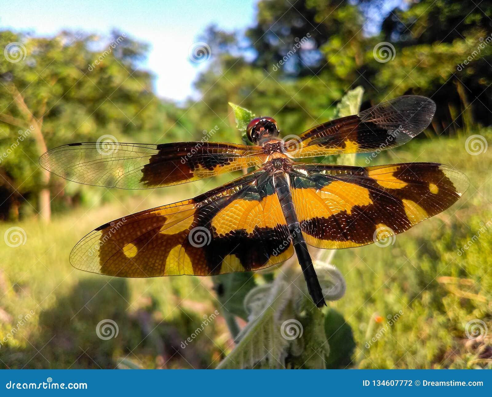 Duża jaskrawa smok komarnica w polu z pięknymi skrzydłami