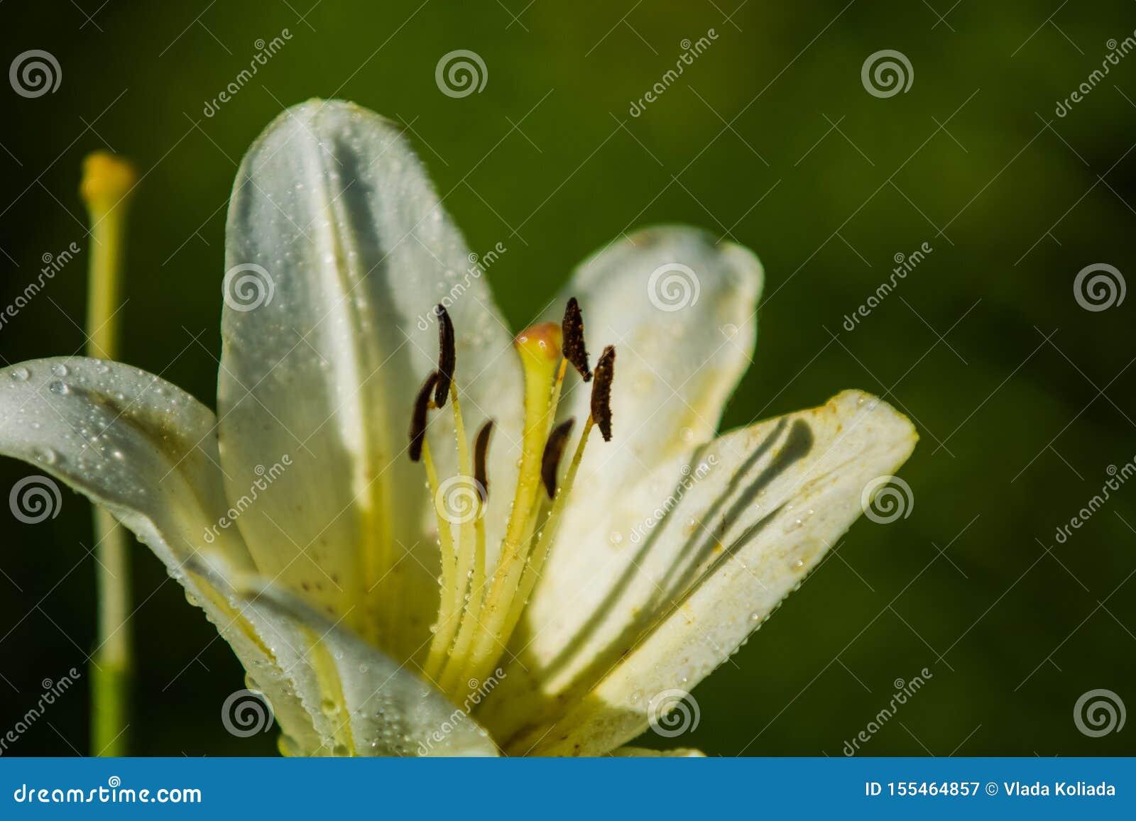Duża leluja, biała z żółtym kolorem, okwitnięcia w lecie uprawia ogródek pi?kne kwiaty Monophonic t?o