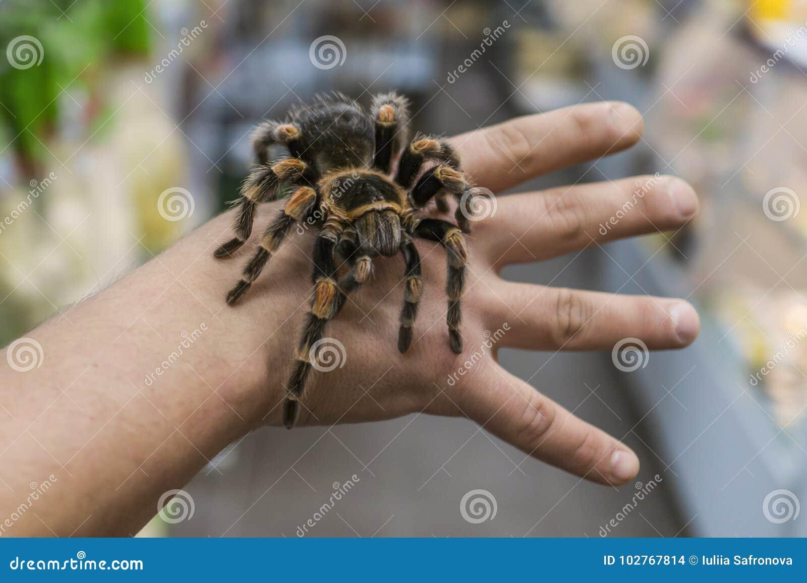 Duża pająk tarantula siedzi czołganie na mężczyzna ` s ręce