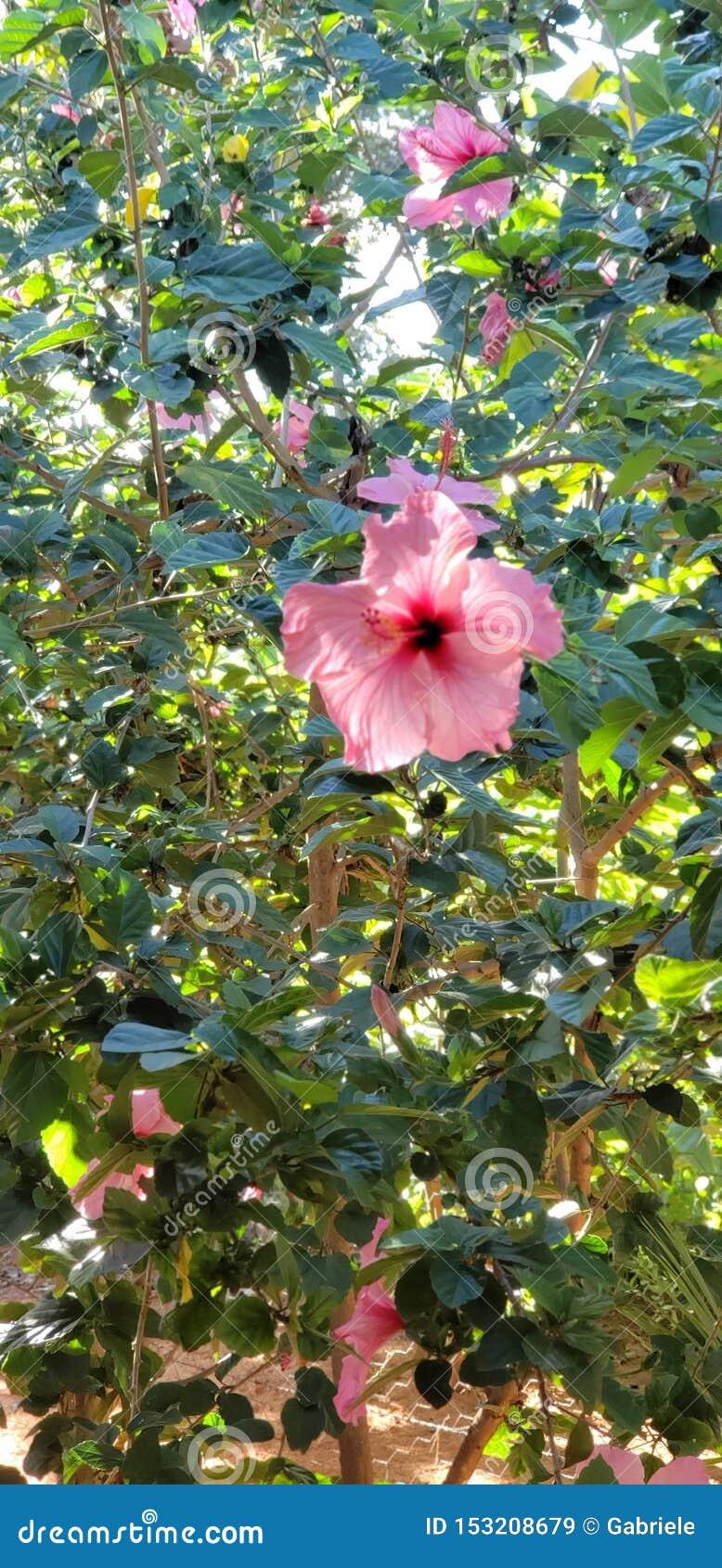 Duże kwiat menchie piękne