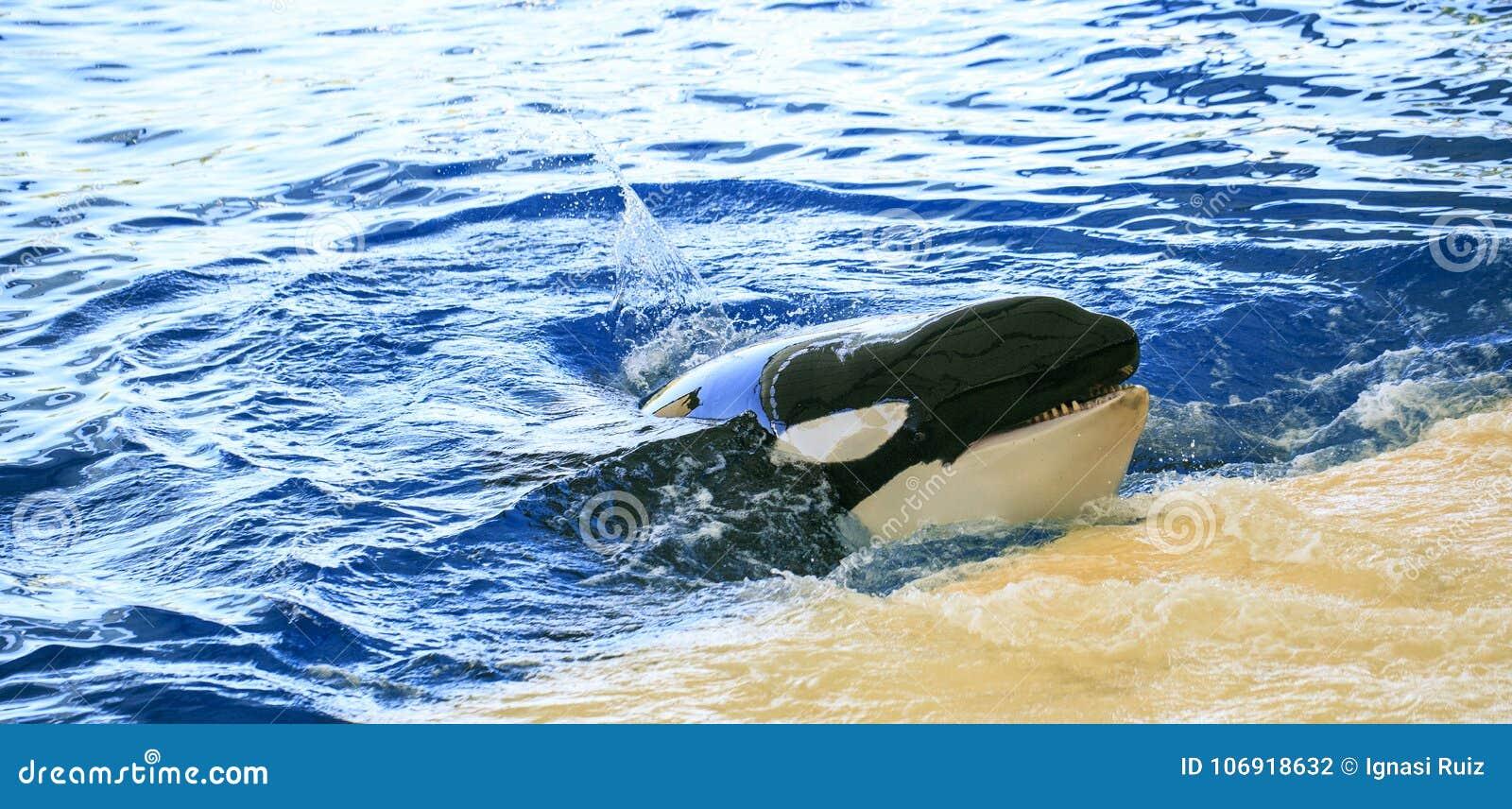 Duże orki żyje w zoo