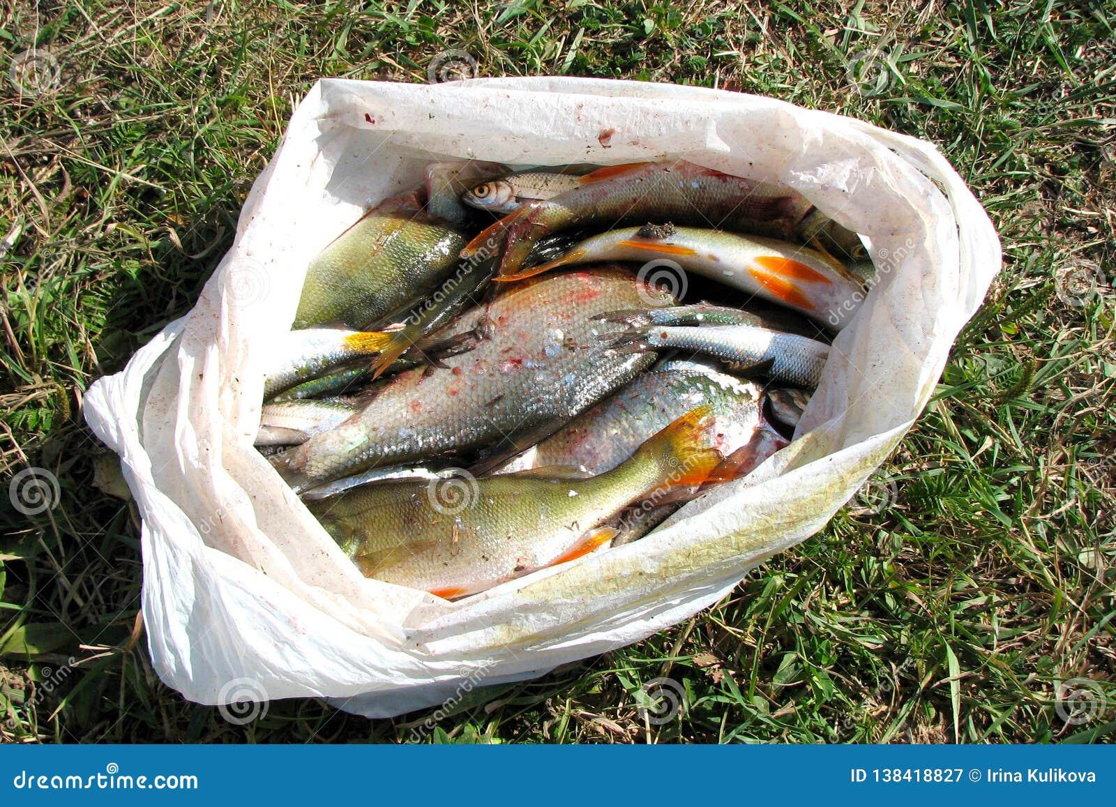 Dużo świeżo łapiąca rzeki ryba w plastikowym worku kłamają na ziemi w trawie pod światłem słonecznym Słodkowodna ryba