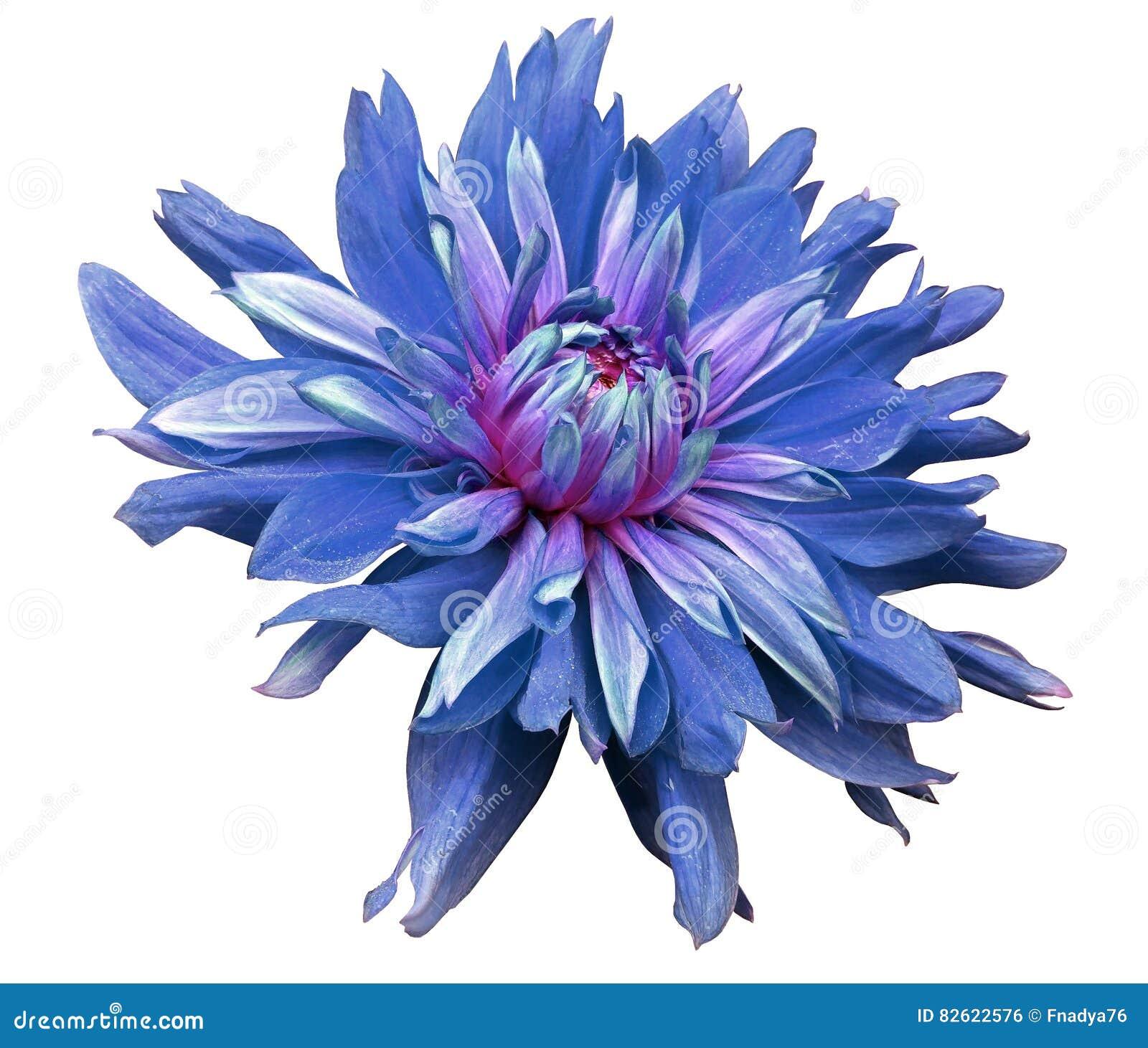 Duży błękitny kwiat otwiera na białym tle odizolowywającym z ścinek ścieżką zbliżenie boczny widok dla projekta Z kroplami woda D