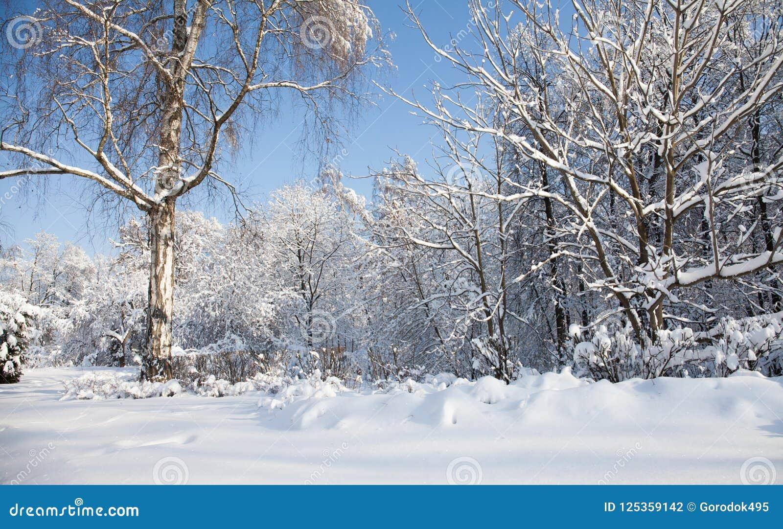 Duży brzozy drzewo z śniegiem zakrywającym rozgałęzia się, piękny zima lasu krajobraz, zimny Stycznia słoneczny dzień błękitne ni