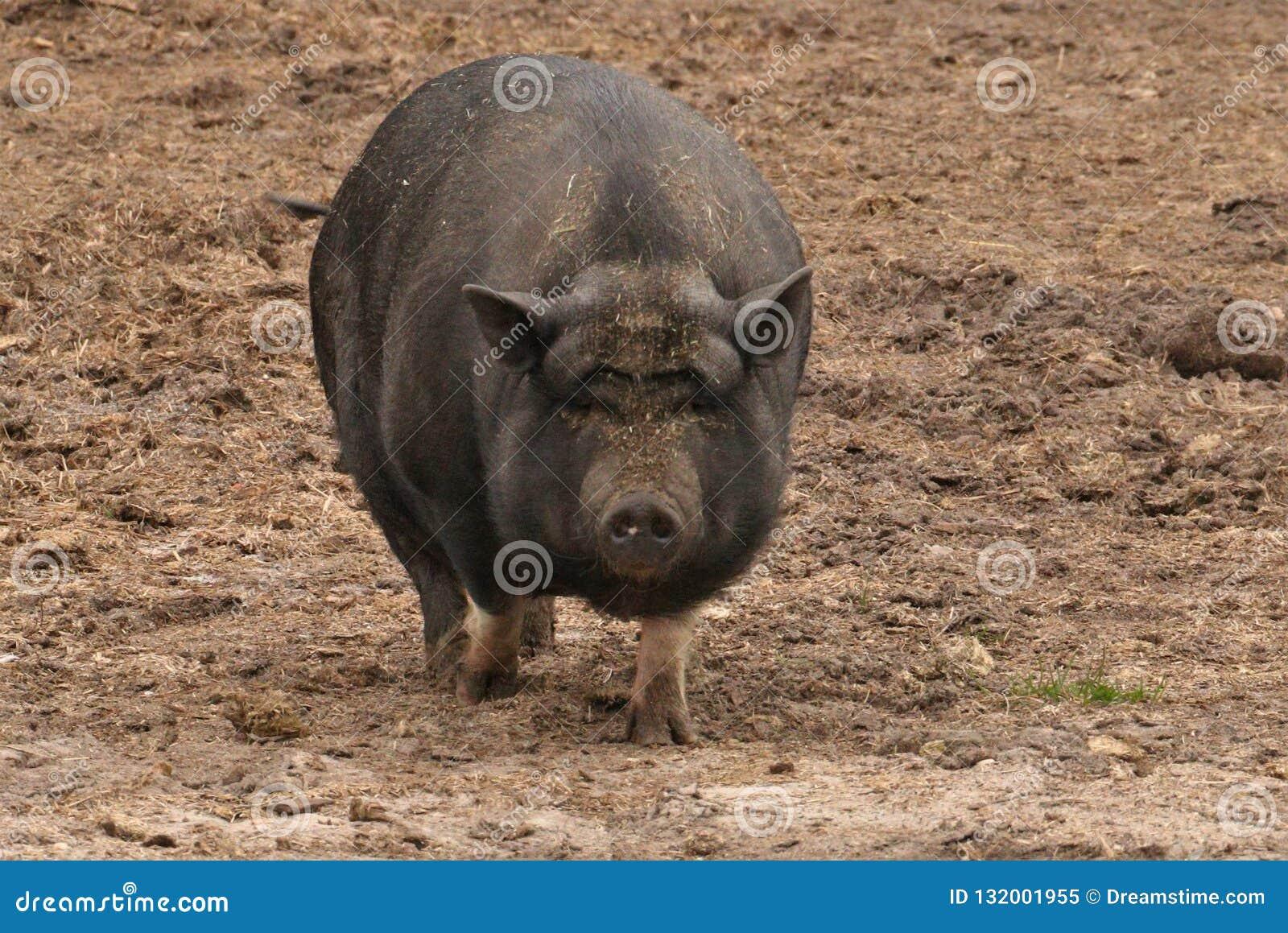 Duży brzuch na PotBelly świni