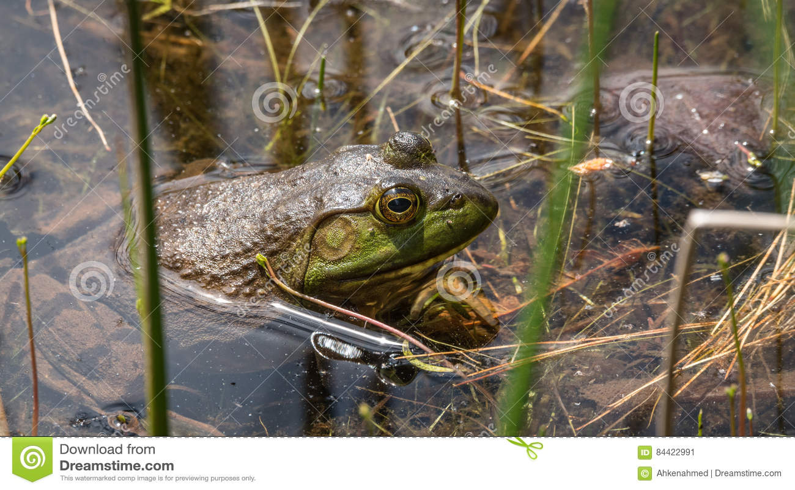 Duży bullfrog stronniczo zanurzający, grże n słońce
