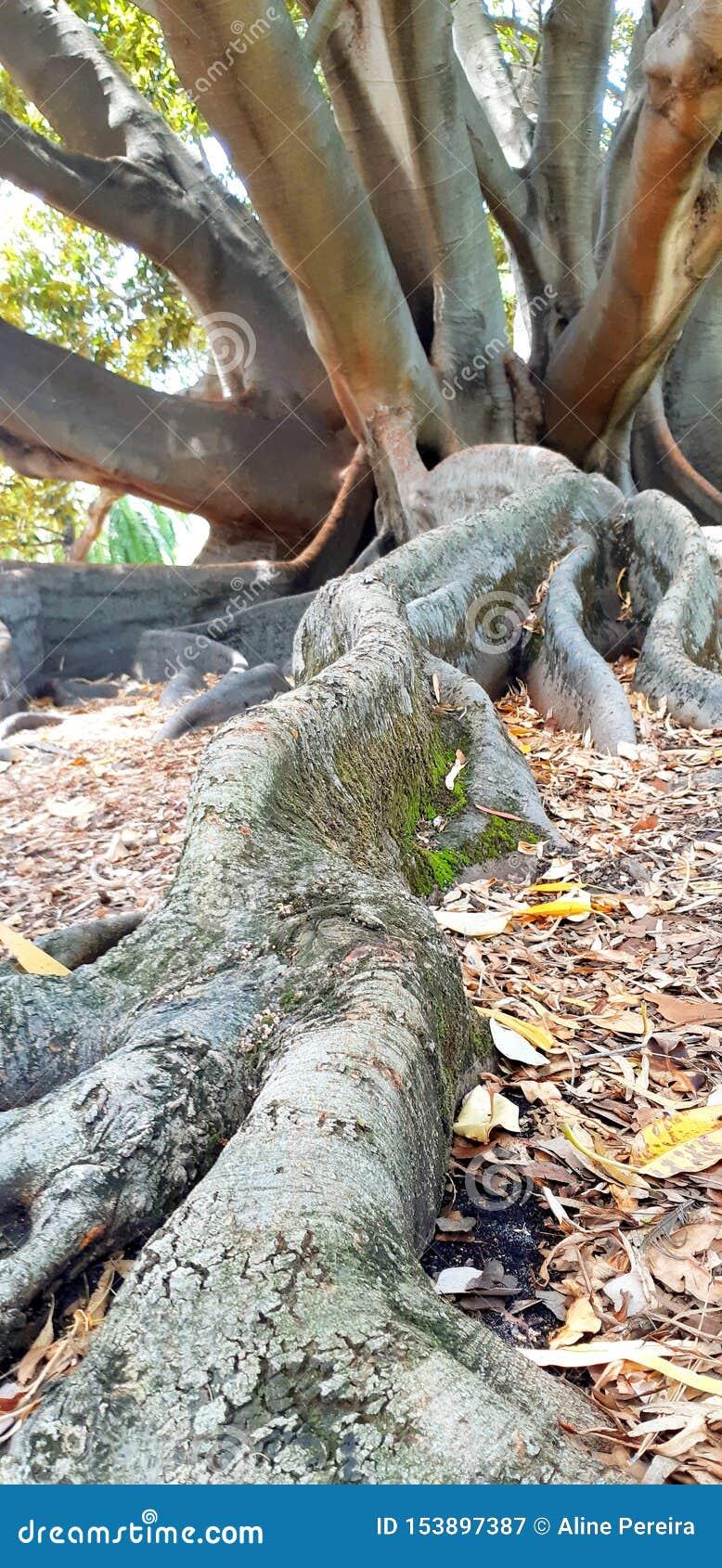 Duży drzewo w królewiątko parku