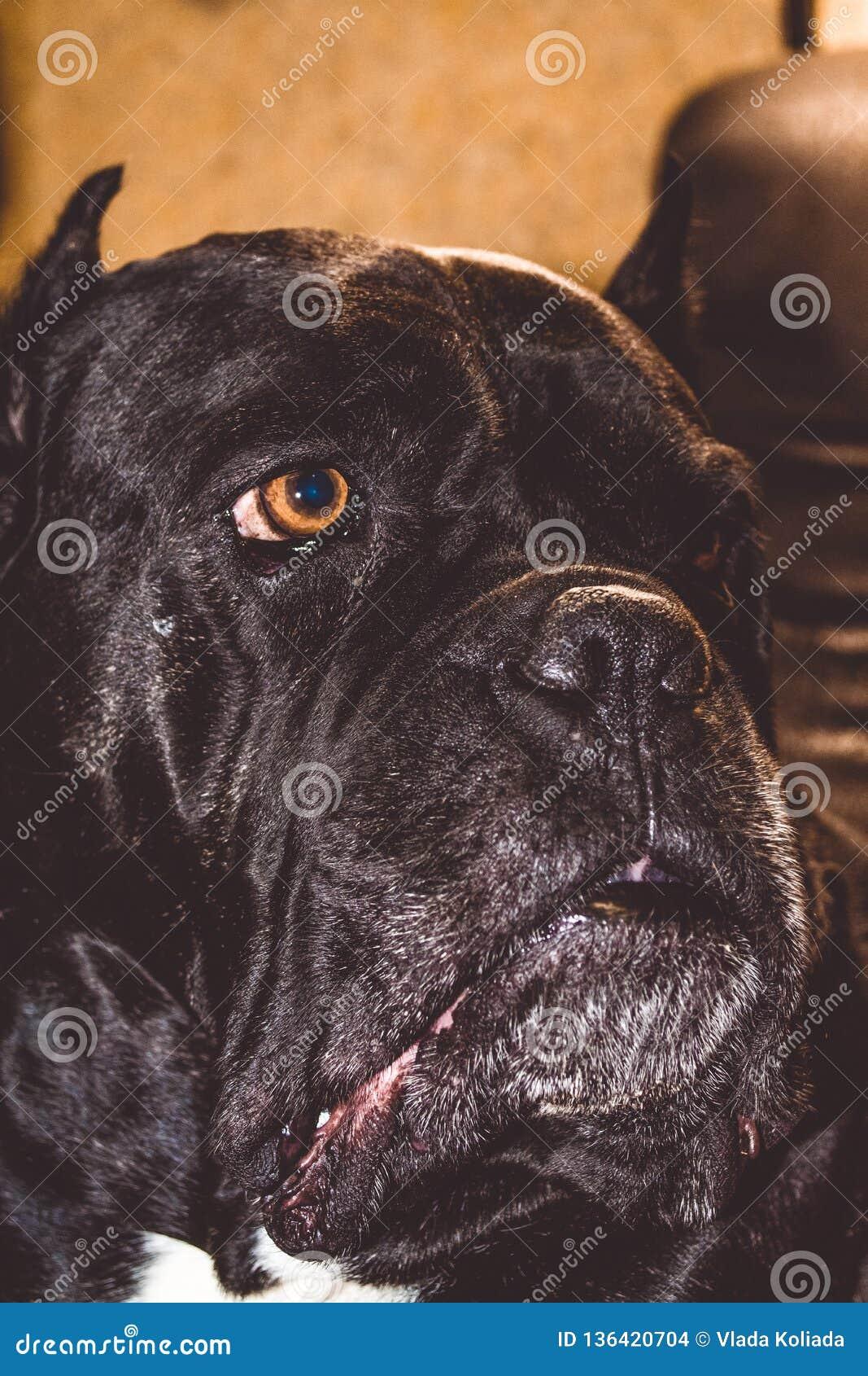 Duży i czarny pies i kłama spoczynkowego trakenu Kan Corso, Francuski buldog Uroczy i marszczący kaganiec pet Duży nos