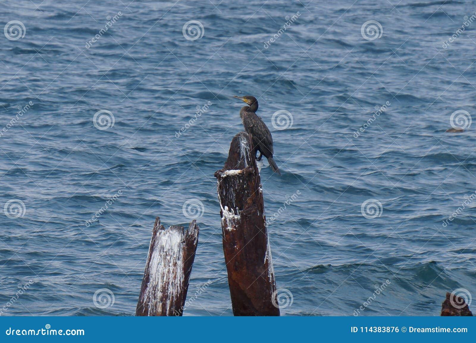 Duży kormoran samotnie