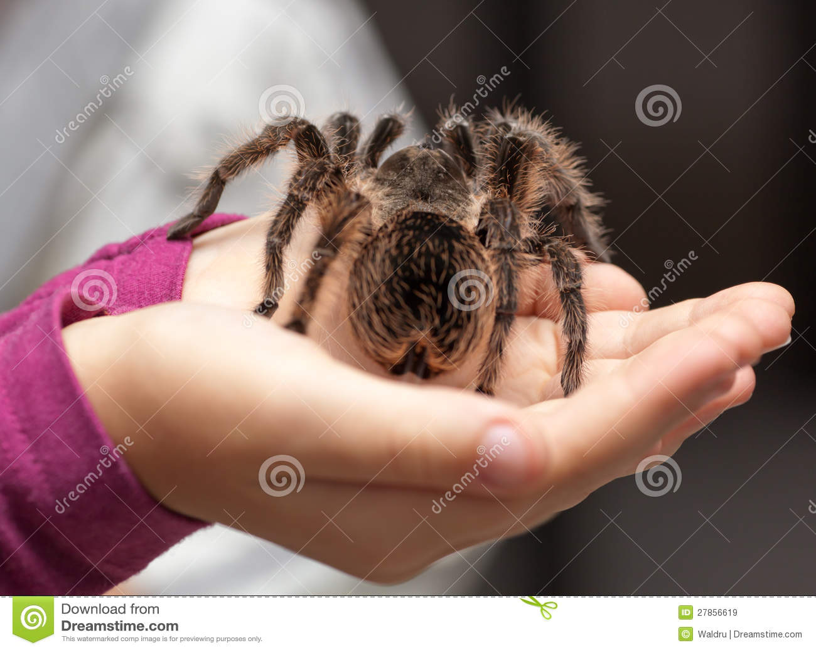 Duży kosmata tarantula