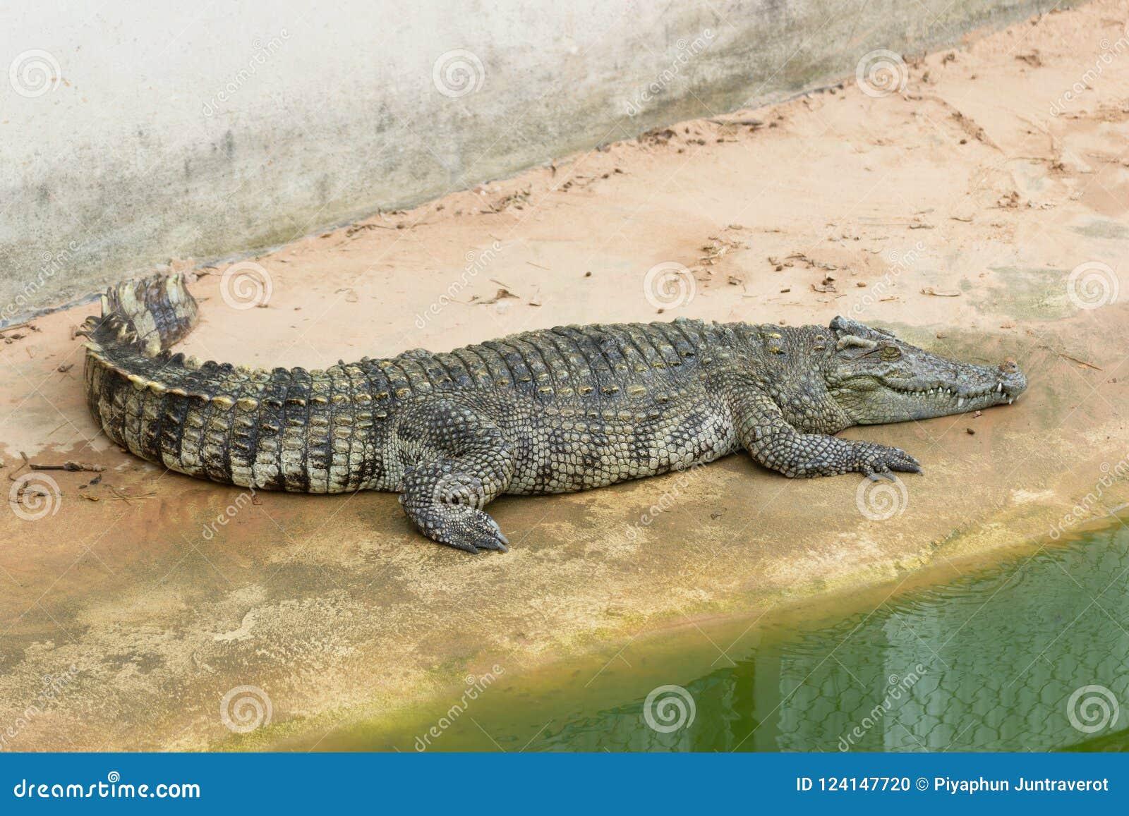 Duży krokodyl w gospodarstwie rolnym