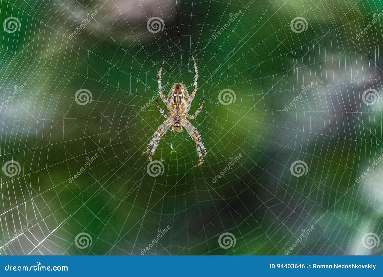 Duży pająka araneus w centrum sieć Pajęczyna z pająkiem