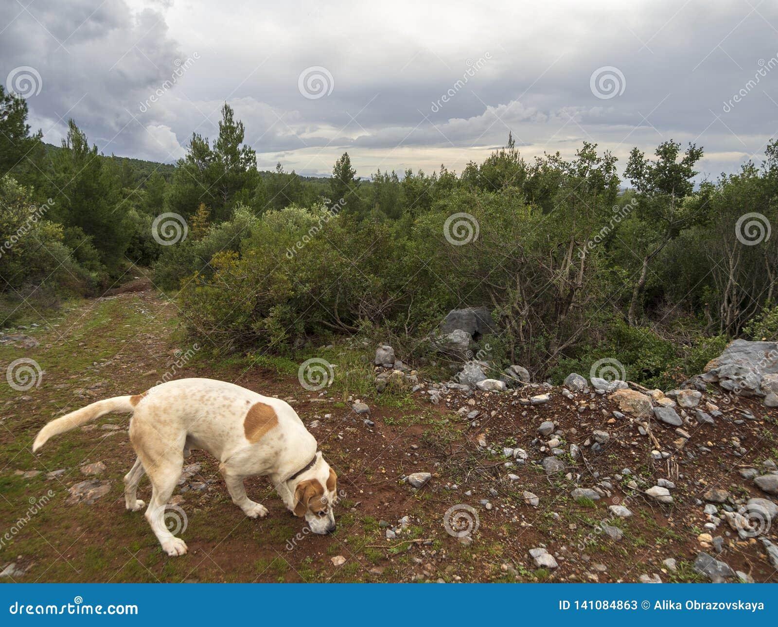 Duży rewolucjonistka pies chodzi na pogodnym zima dniu przez gór na Greckiej wyspie Evia i drewien, Grecja