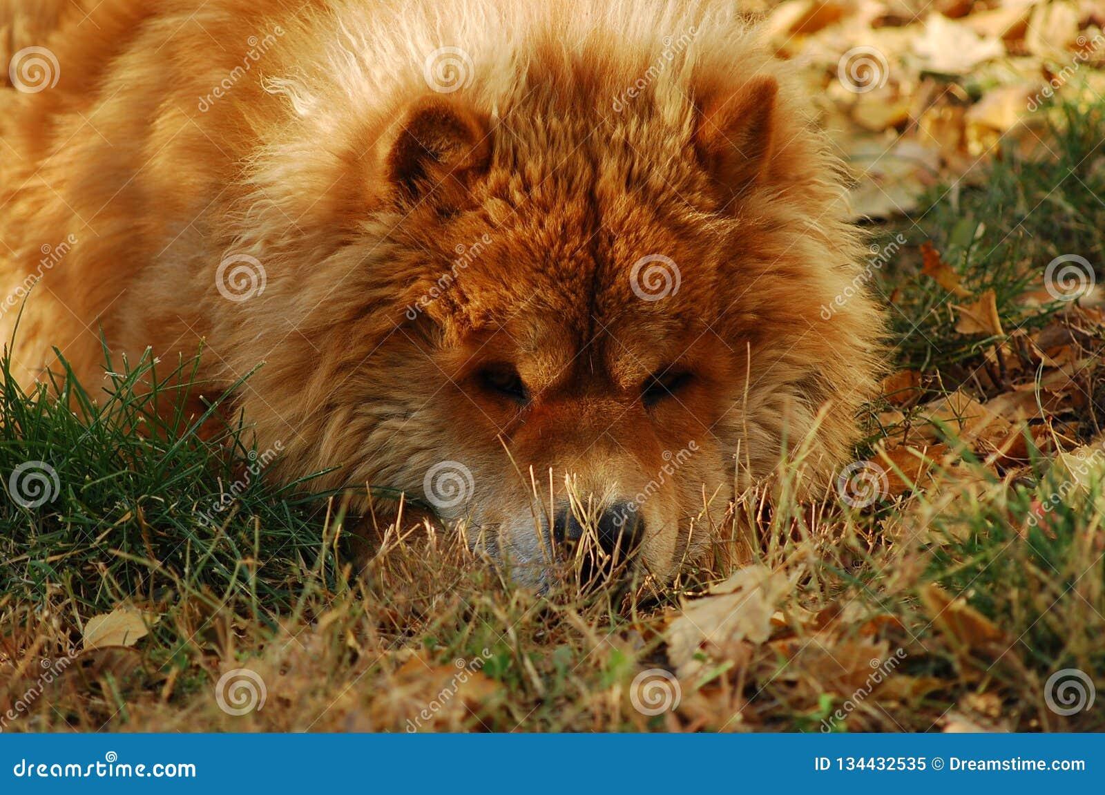 Duży Tybetański mastif w zima dniach