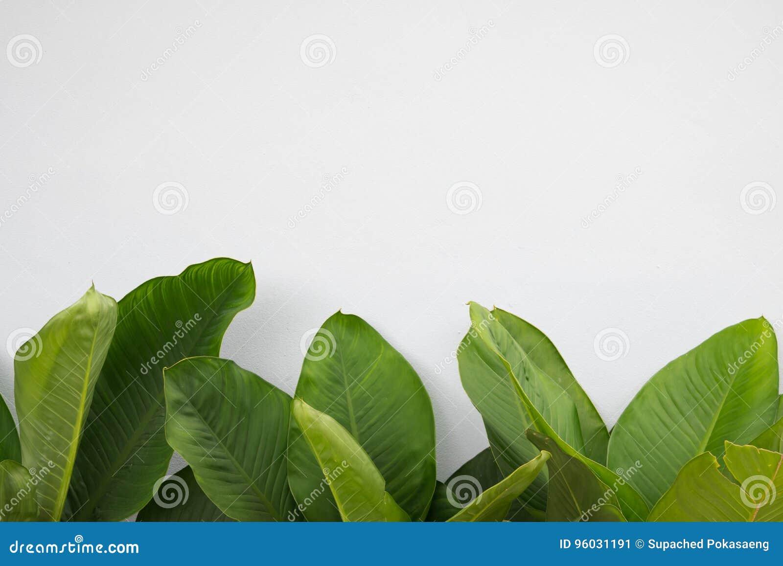 Duży zielony liść na białym tle