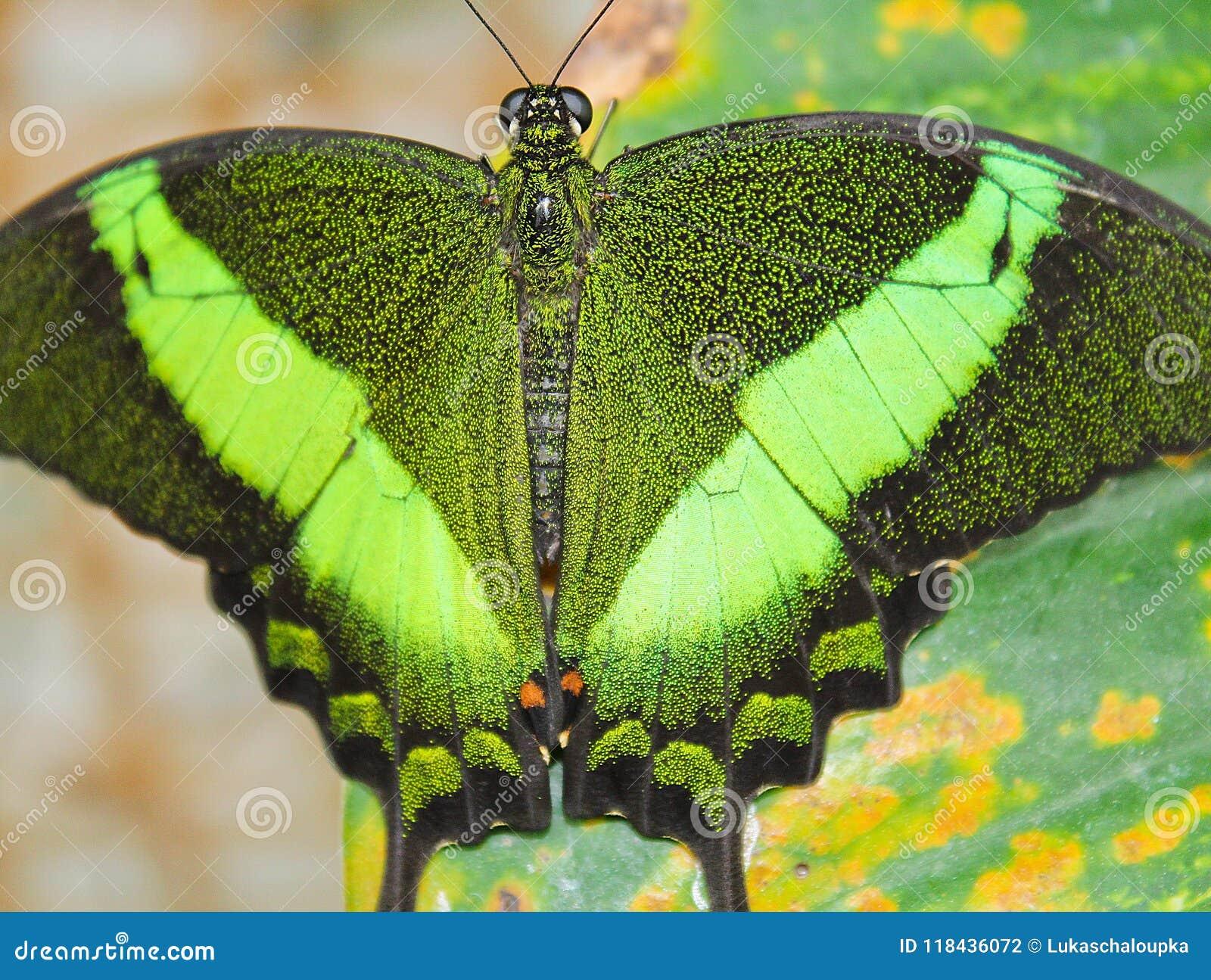 Duży zielony motyli Szmaragdowy Swallowtail, zamyka w górę fotografii skrzydła