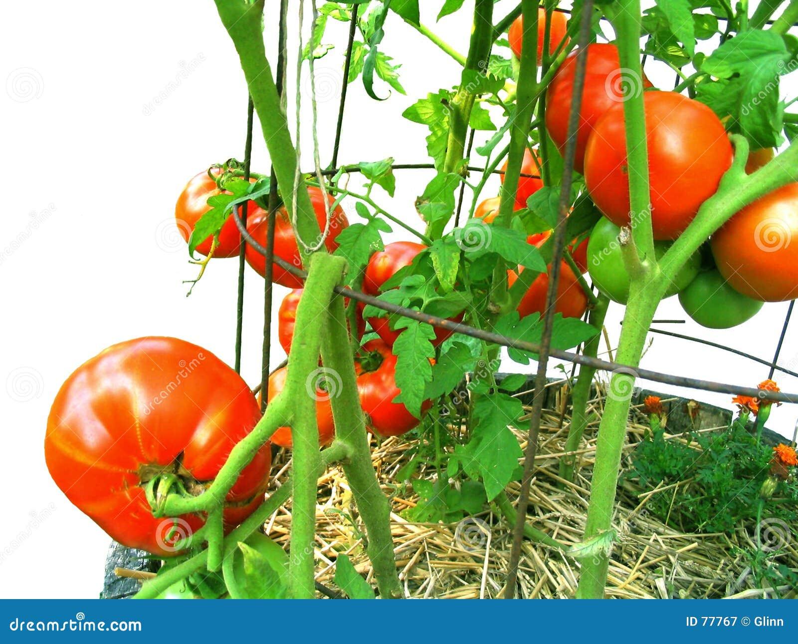 Du pays, vigne-mûri, tomates