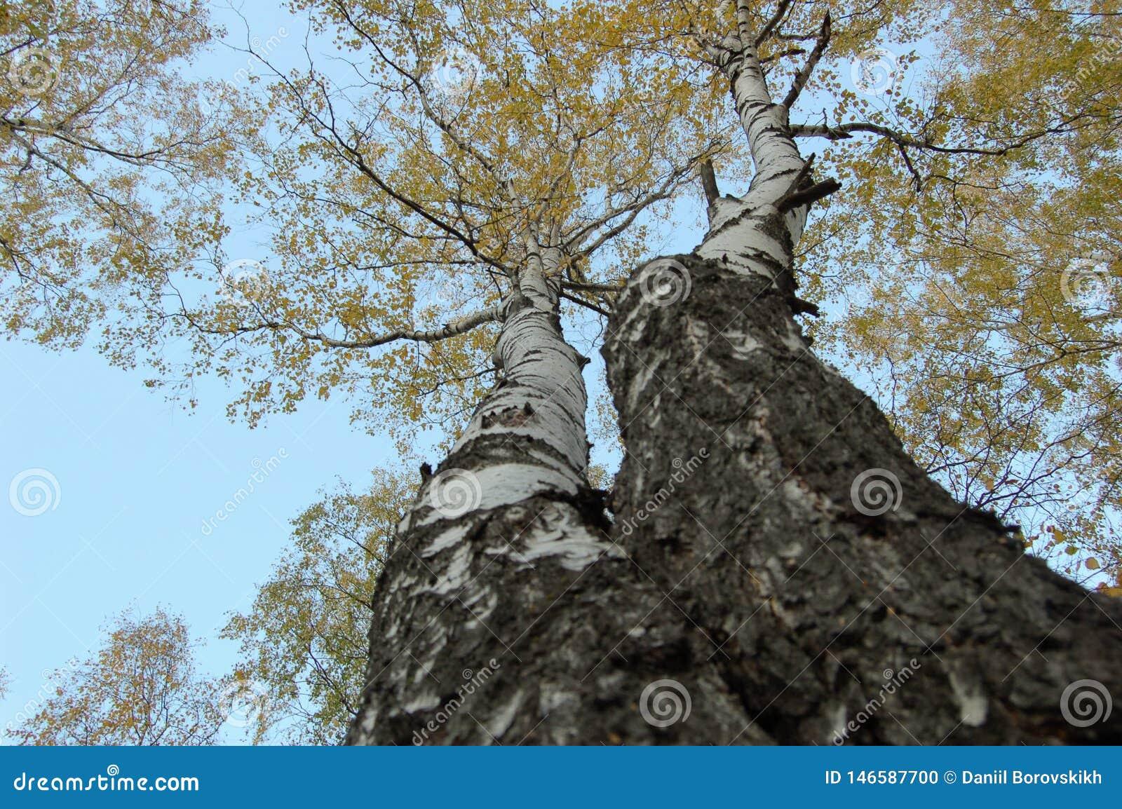 Duas árvores de vidoeiro com opinião de baixo para cima das folhas amarelas