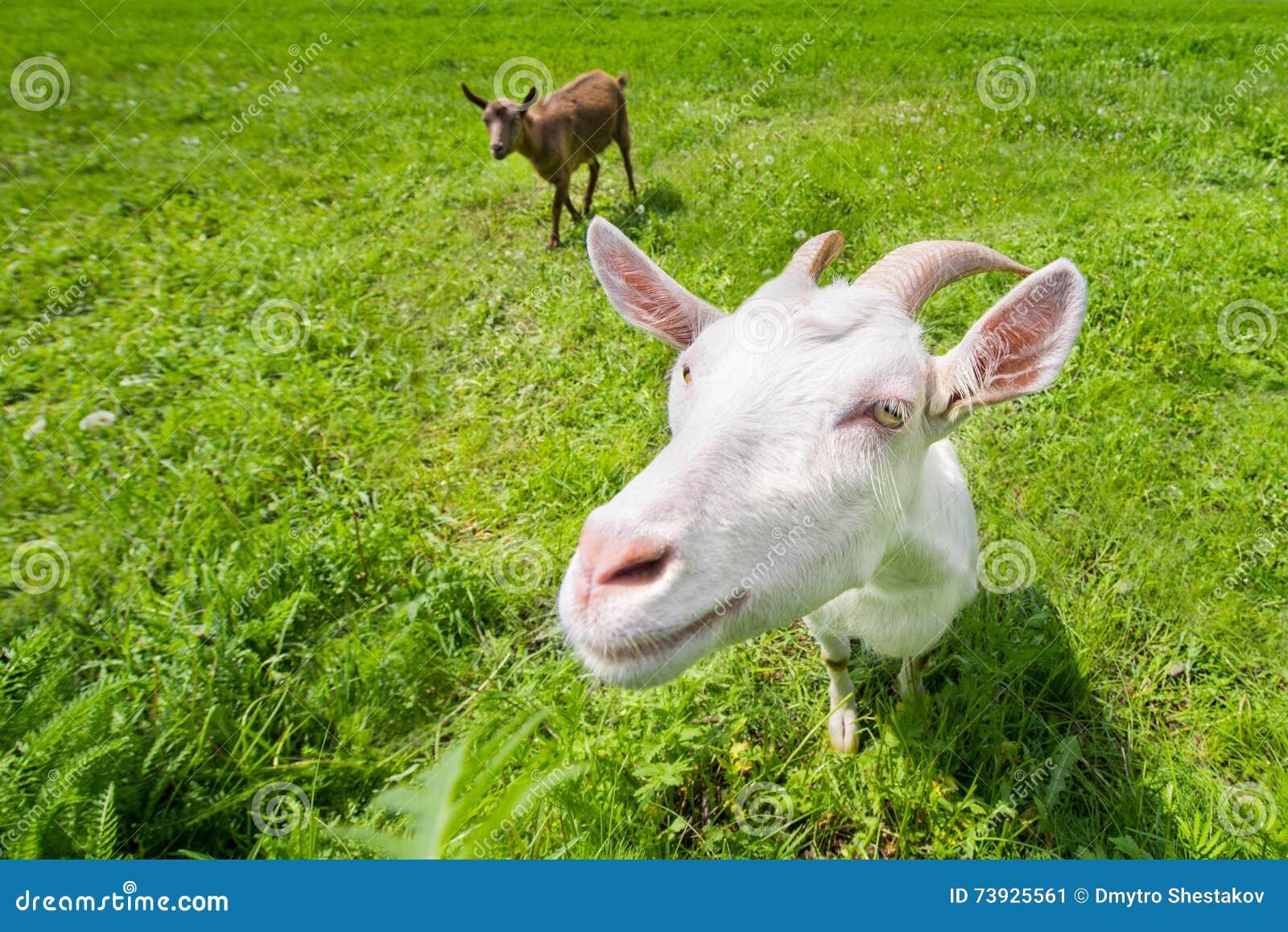 Duas cabras em um prado verde