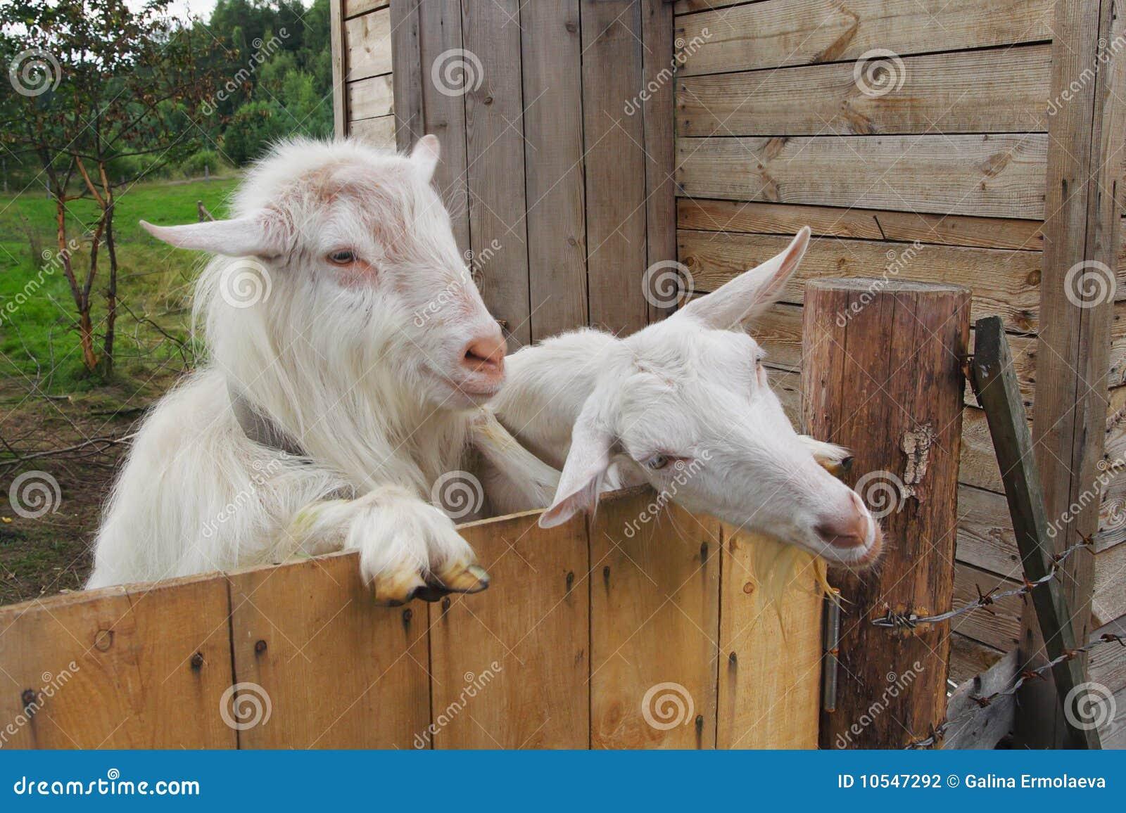 Duas cabras na exploração agrícola