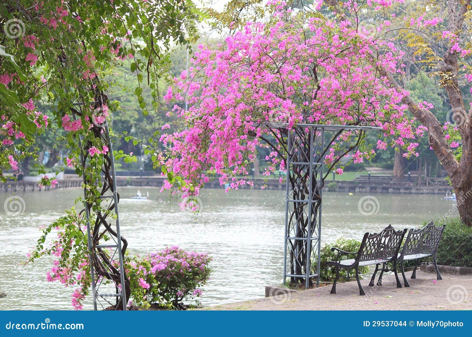 Duas cadeiras e o bougainvillea bonito florescem no parque
