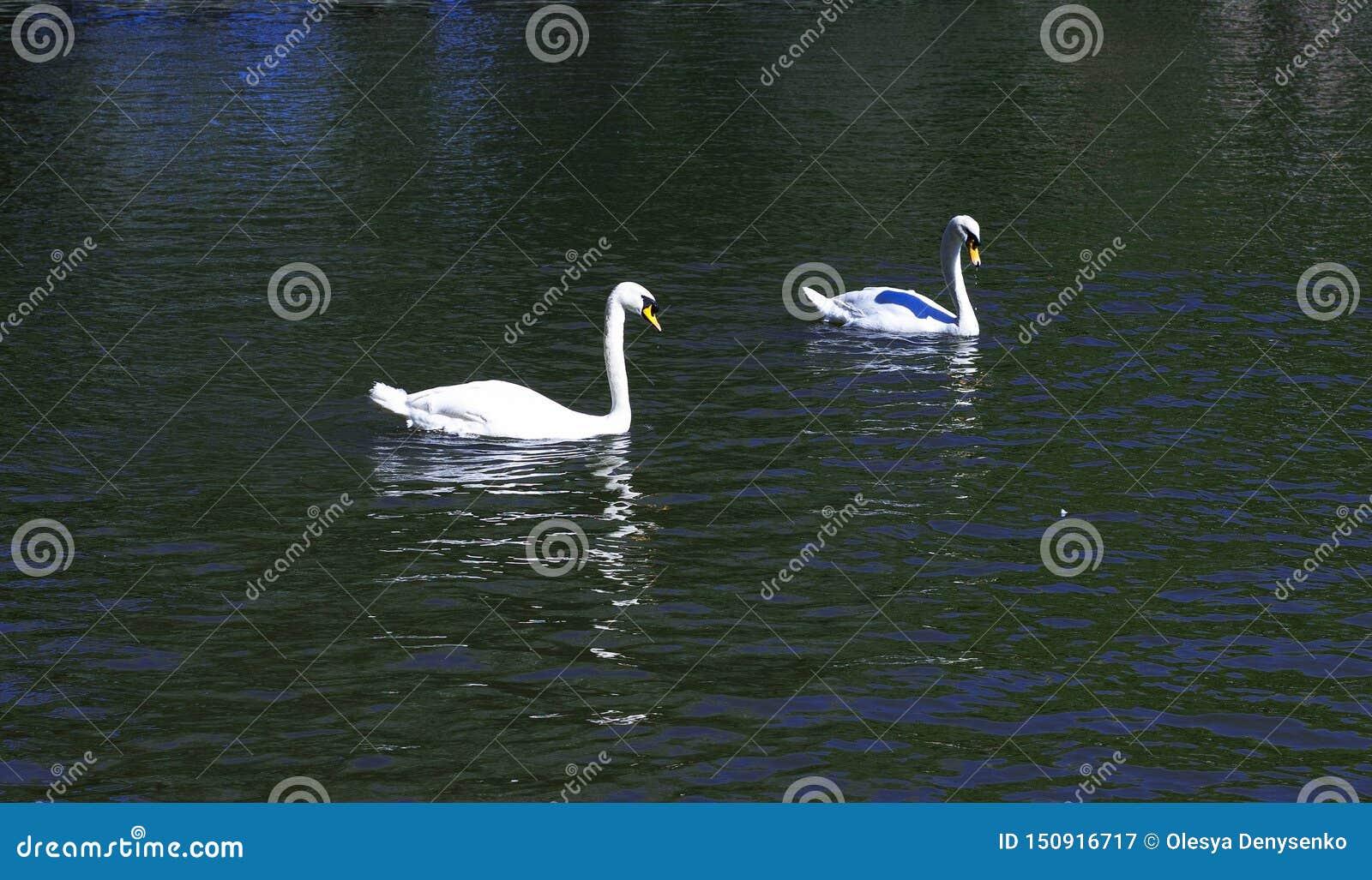 Duas cisnes brancas no lago