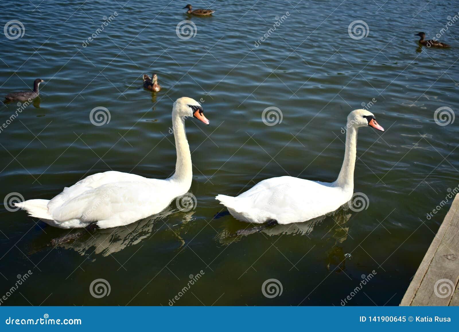 Duas cisnes brancas no lago com patos