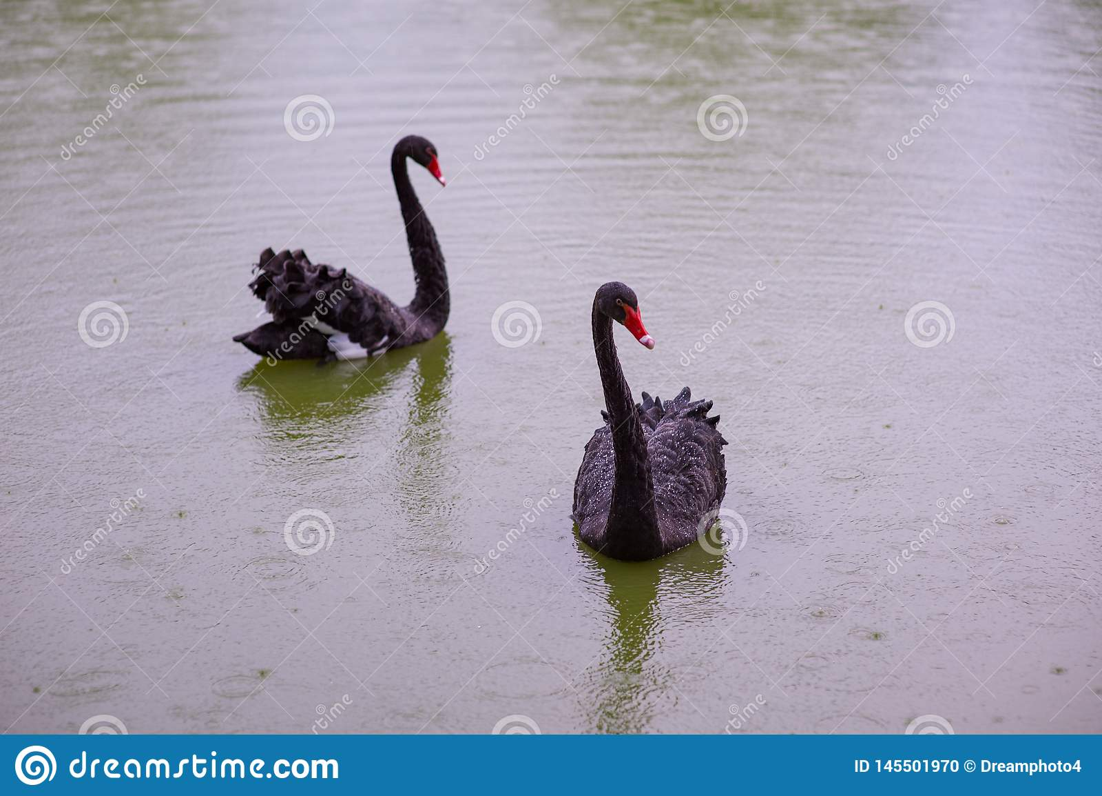 Duas cisnes pretas em uma lagoa
