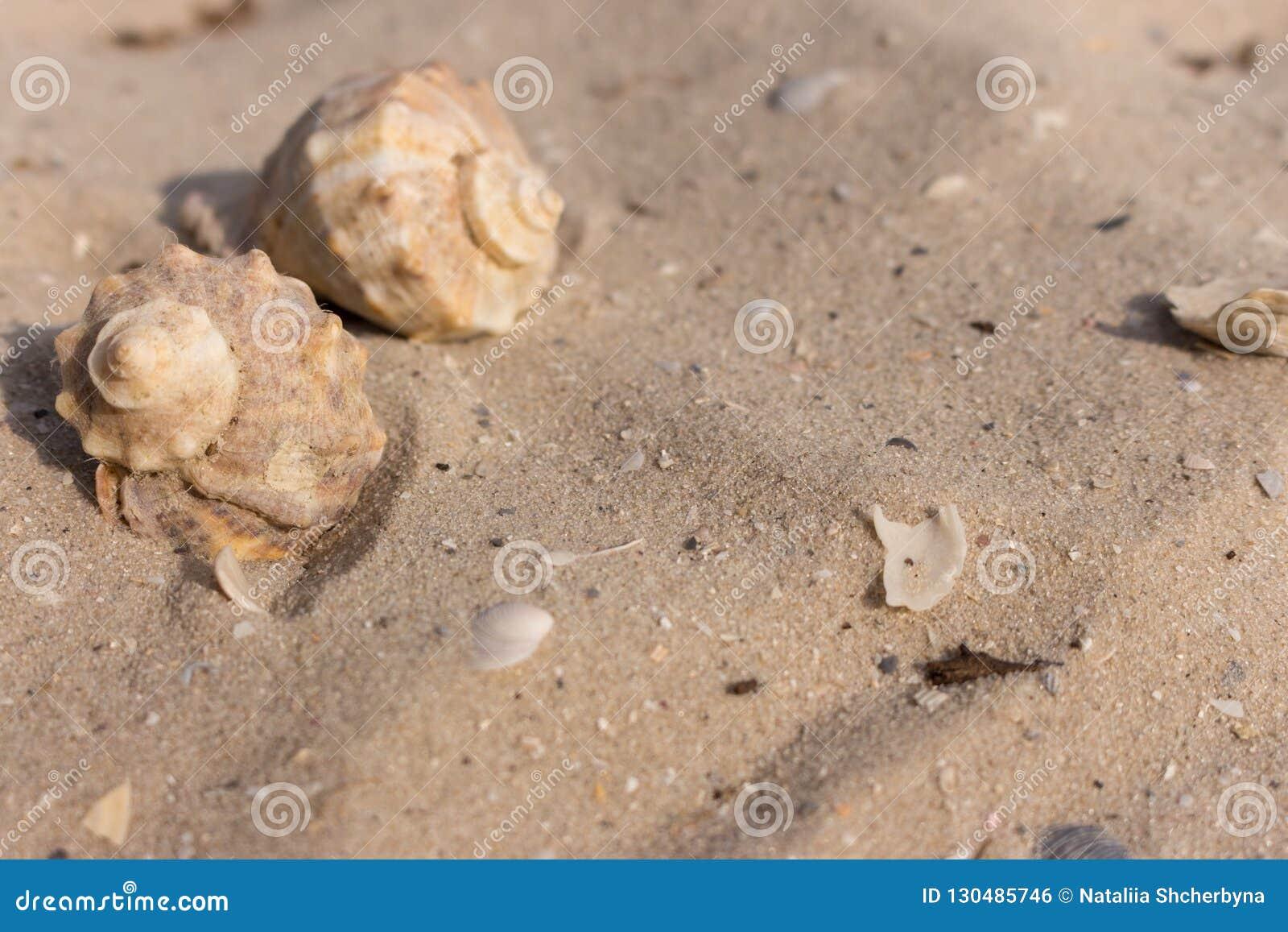 Duas conchas do mar no close up branco da areia Conceito dos escudos Decoração do porto Vida de mar