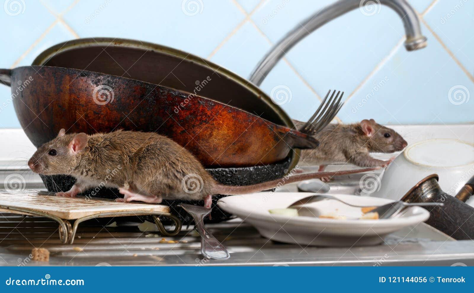Duas escaladas do rato dos jovens em pratos sujos na banca da cozinha duas bandejas e louças velhas