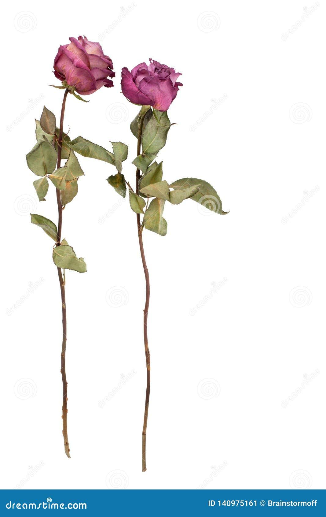 Duas flores bonitas das rosas de Borgonha com haste longa e folhas verdes fundo branco no close up isolado
