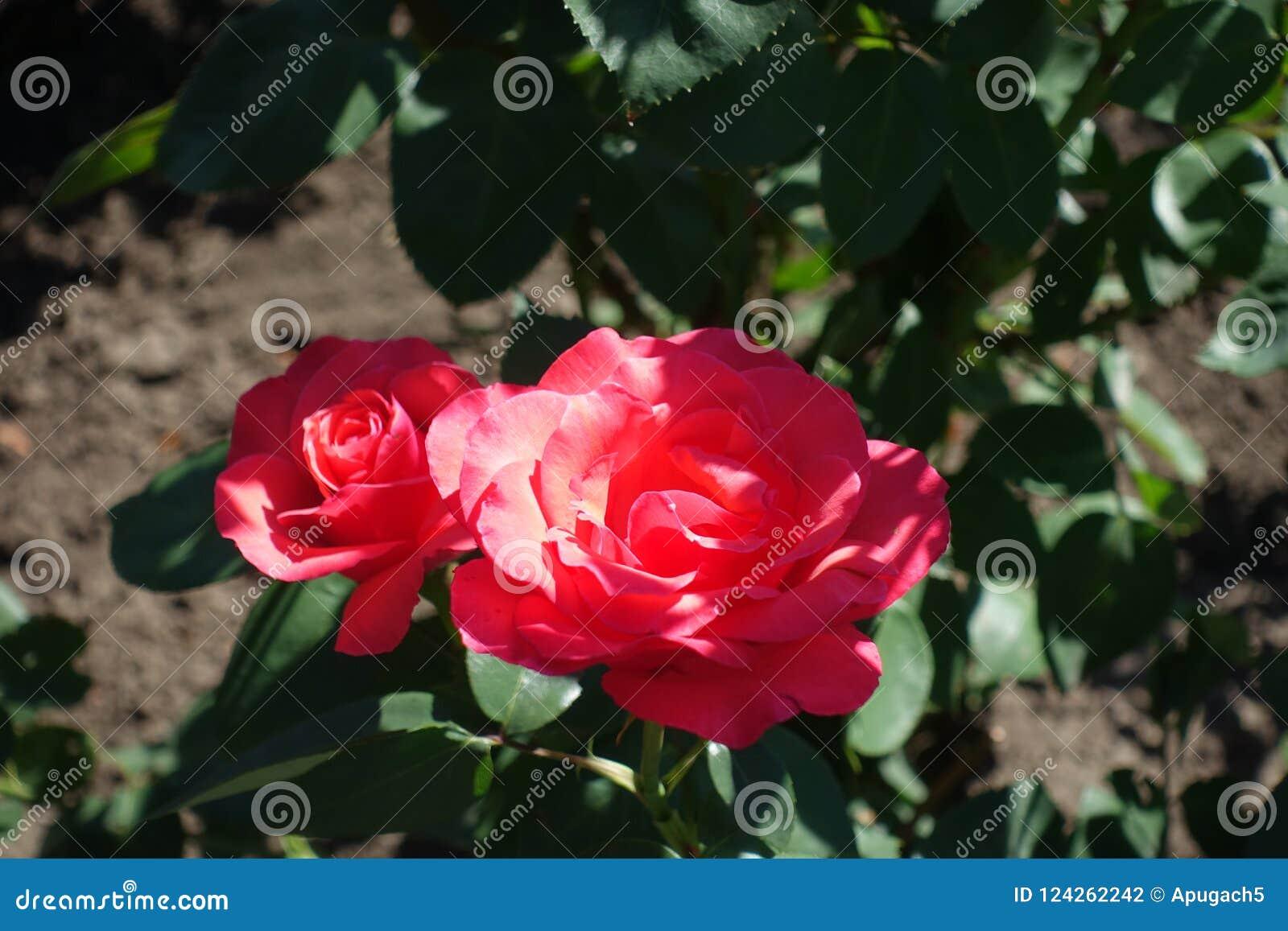 Duas flores de rosas cor-de-rosa dos salmões