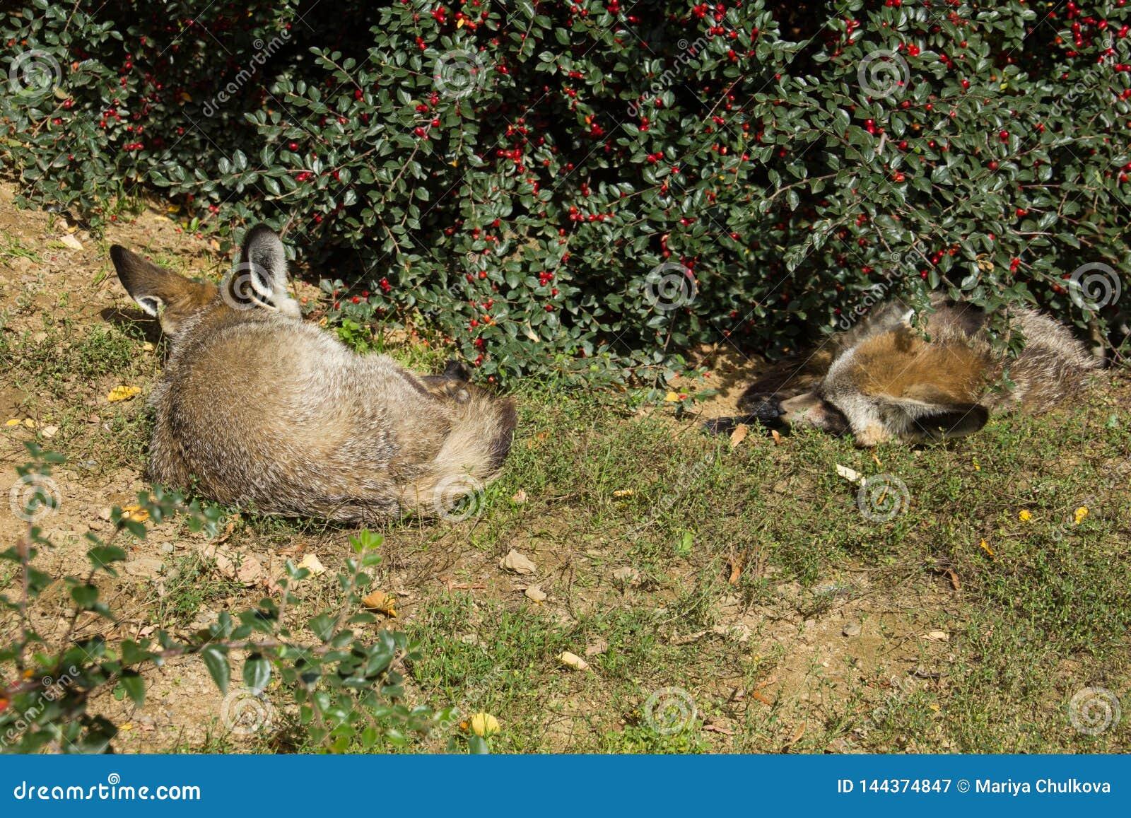 Duas raposas bastão-orelhudas que dormem sob o arbusto da baga