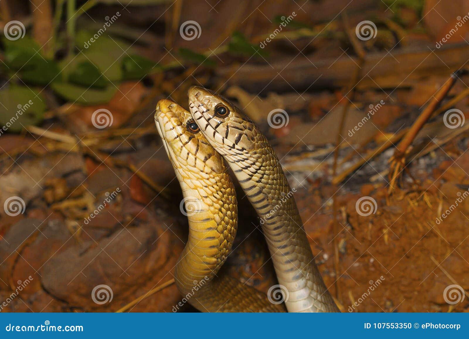 Duas serpentes de rato masculinas, mucosa do Ptyas em um combate