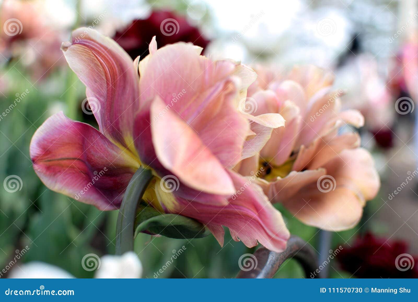 Duas tulipas de florescência dobro cor-de-rosa velhas do close up