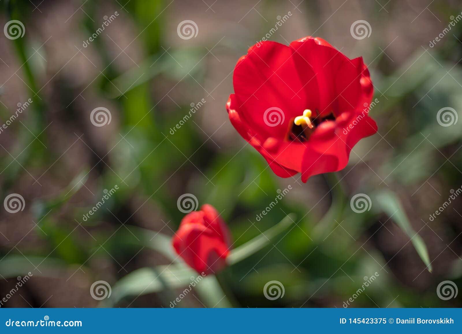 Duas tulipas de florescência vermelhas