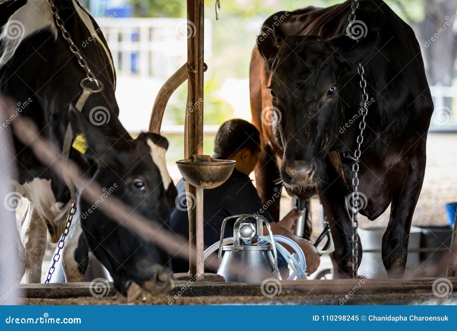 Duas vacas na exploração agrícola de leiteria e em um homem estão ordenhando a vaca preta
