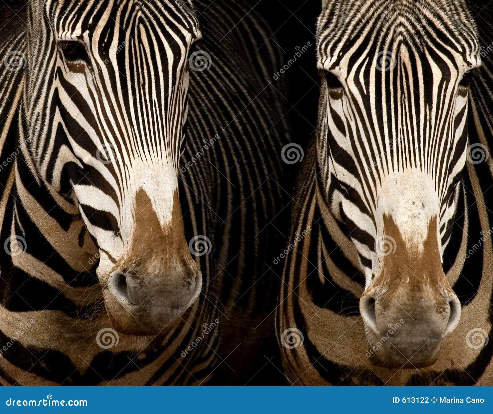 Duas zebras de Grevy