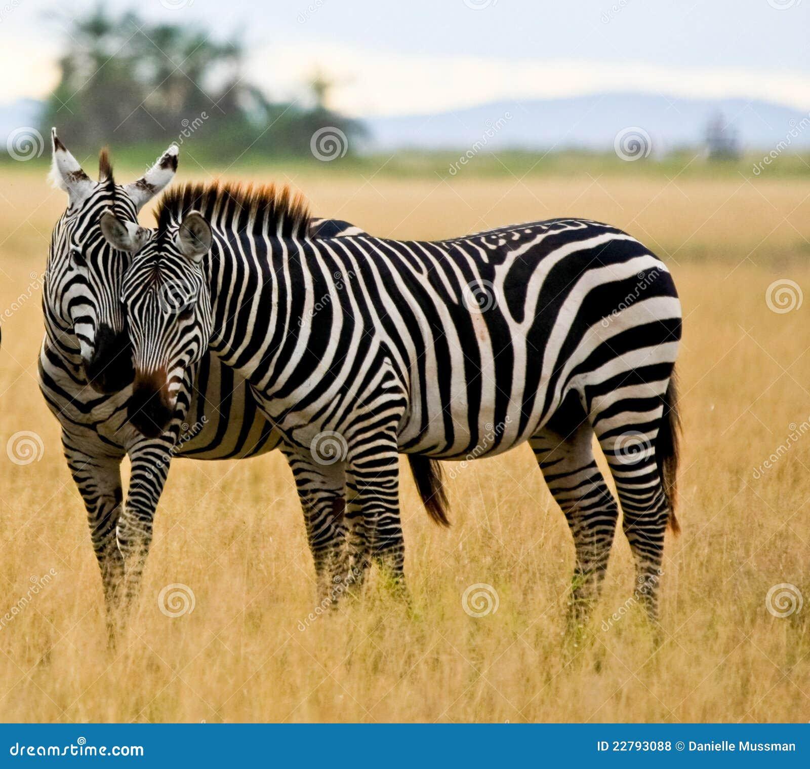Duas zebras em Amboseli