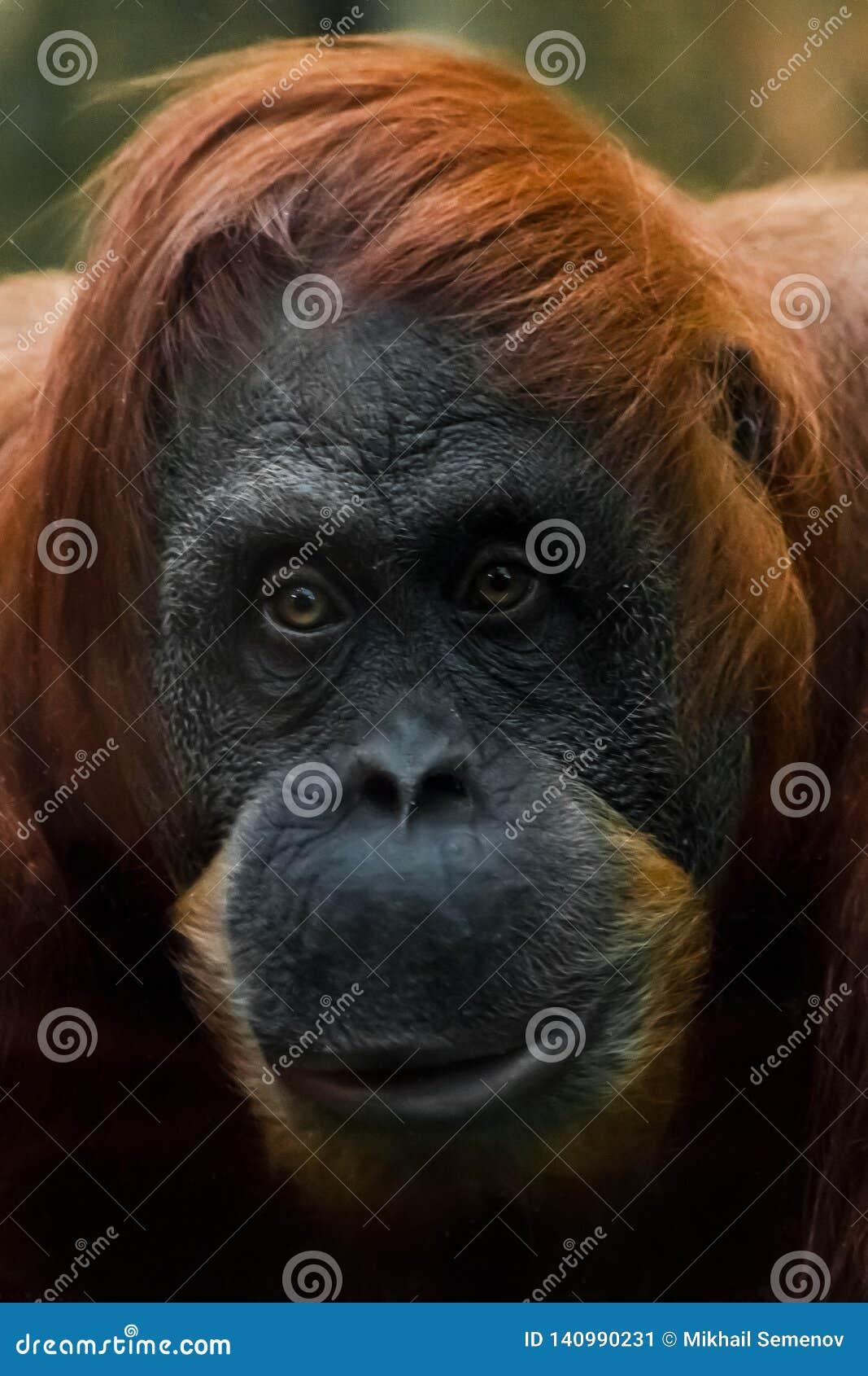 Dubbio di emozione Fronte astuto e gentile della fine rossa dell orangutan su