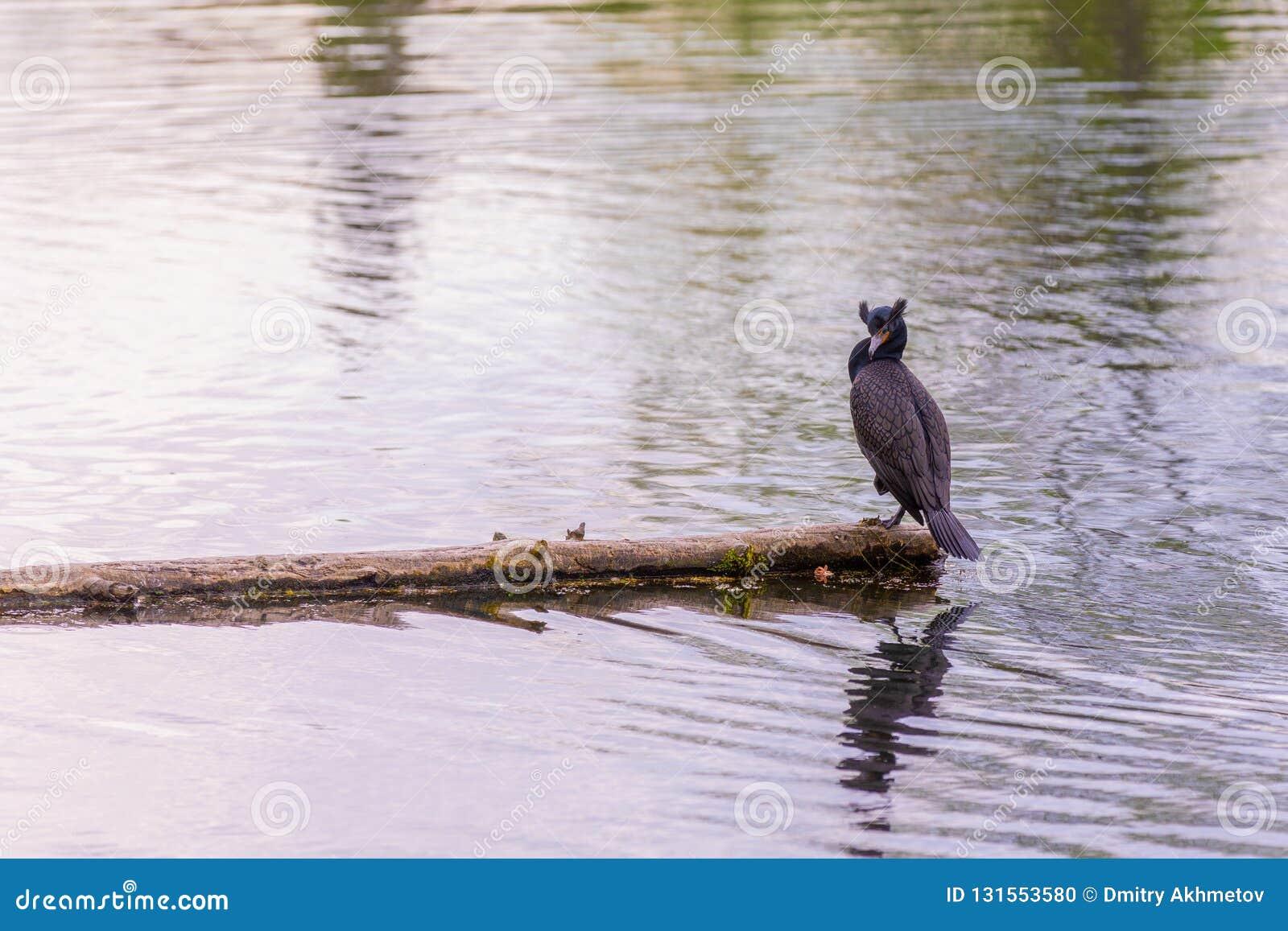 Dubblett-krönat sitta för kormoran av en inloggning mitt av en sjö
