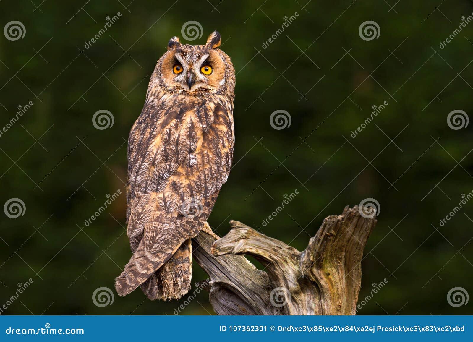 Duc se reposant sur la branche dans la forêt tombée de mélèze pendant le jour sombre Hibou caché dans la scène de faune de forêt