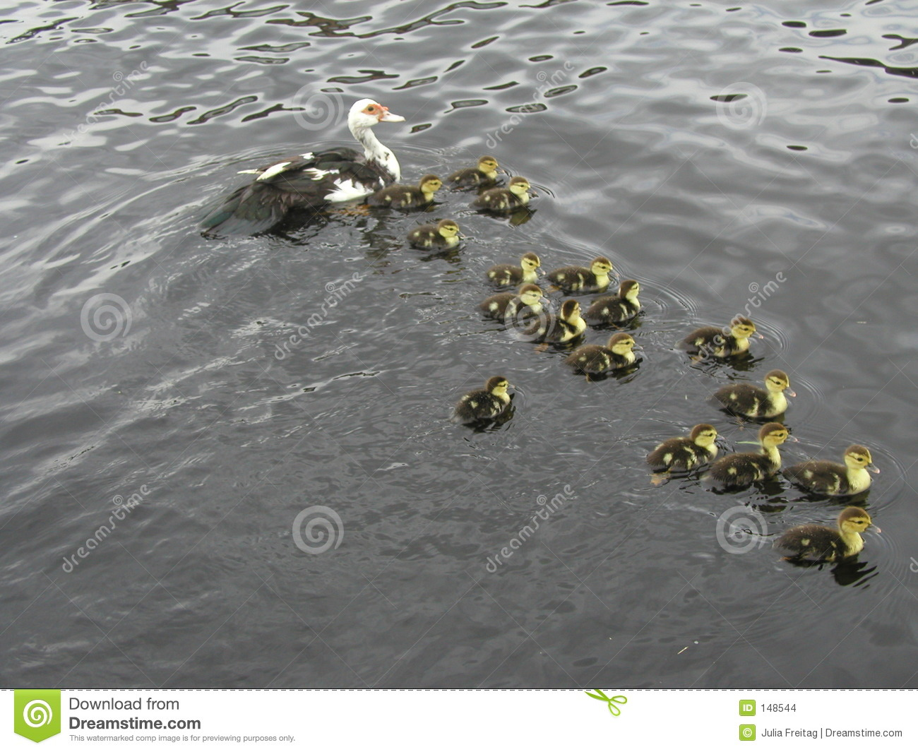 Duck with 17 little kids stock photo. Image of swimming ...