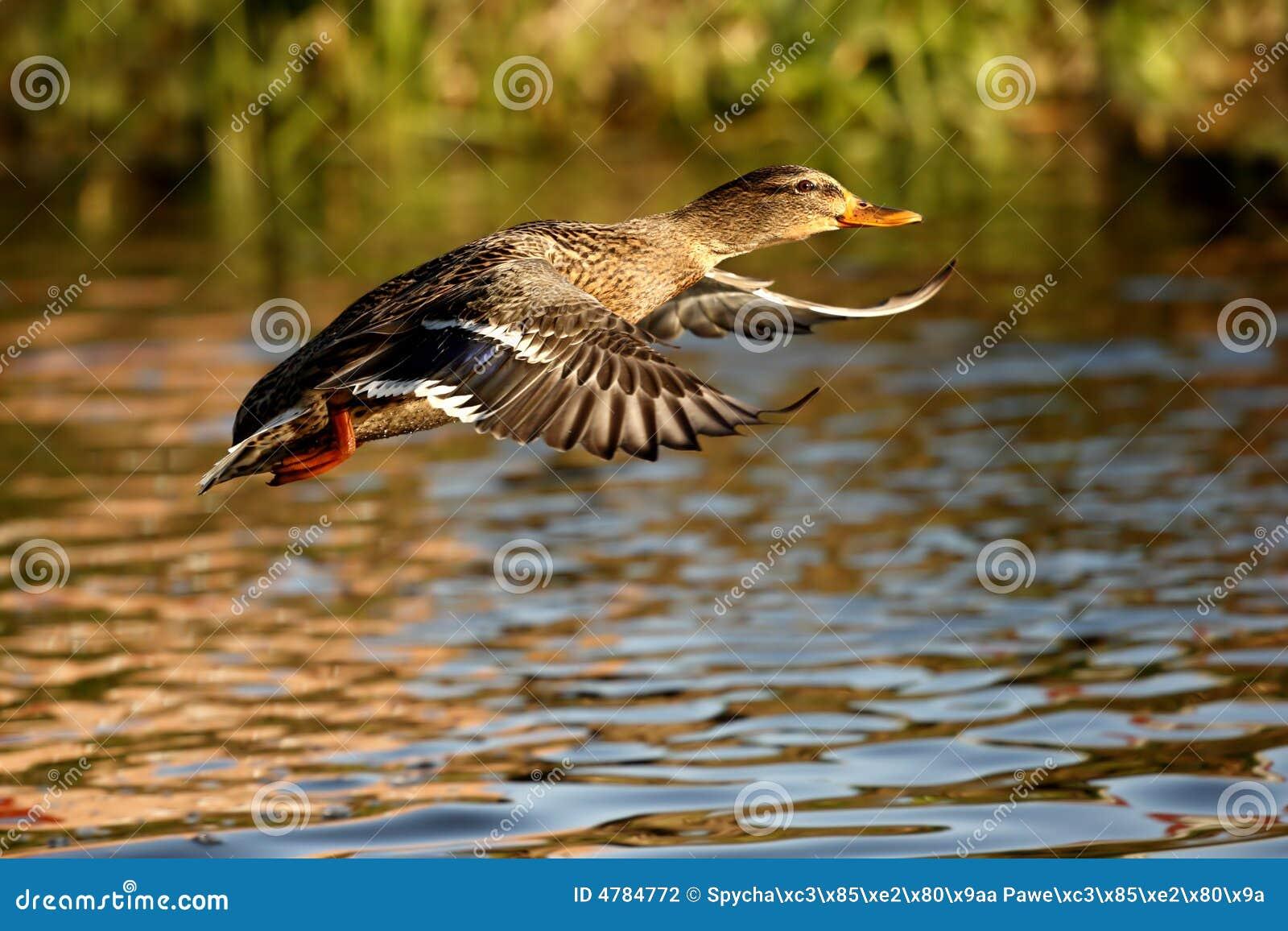 Duck stock photo. Image of camera, safari, bird, wild - 4784772