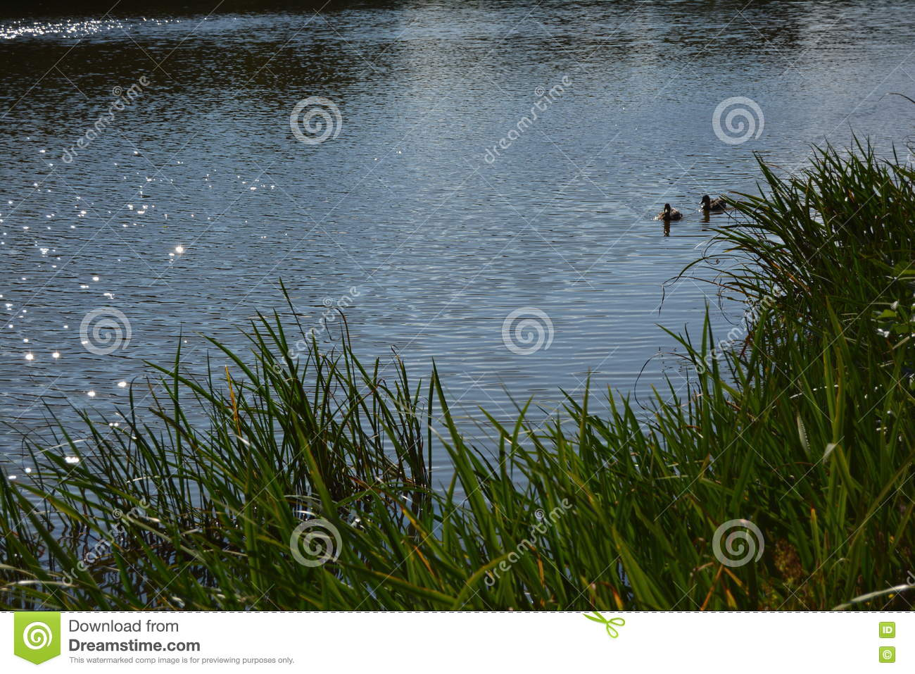 Duck animal s animal fauna floral lake water grass sunny day