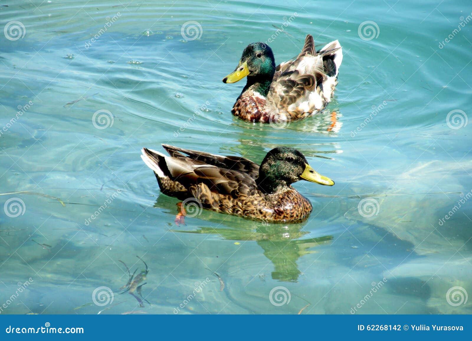 Duck birds swim in water stock photo image 62268142 for Duck pond water