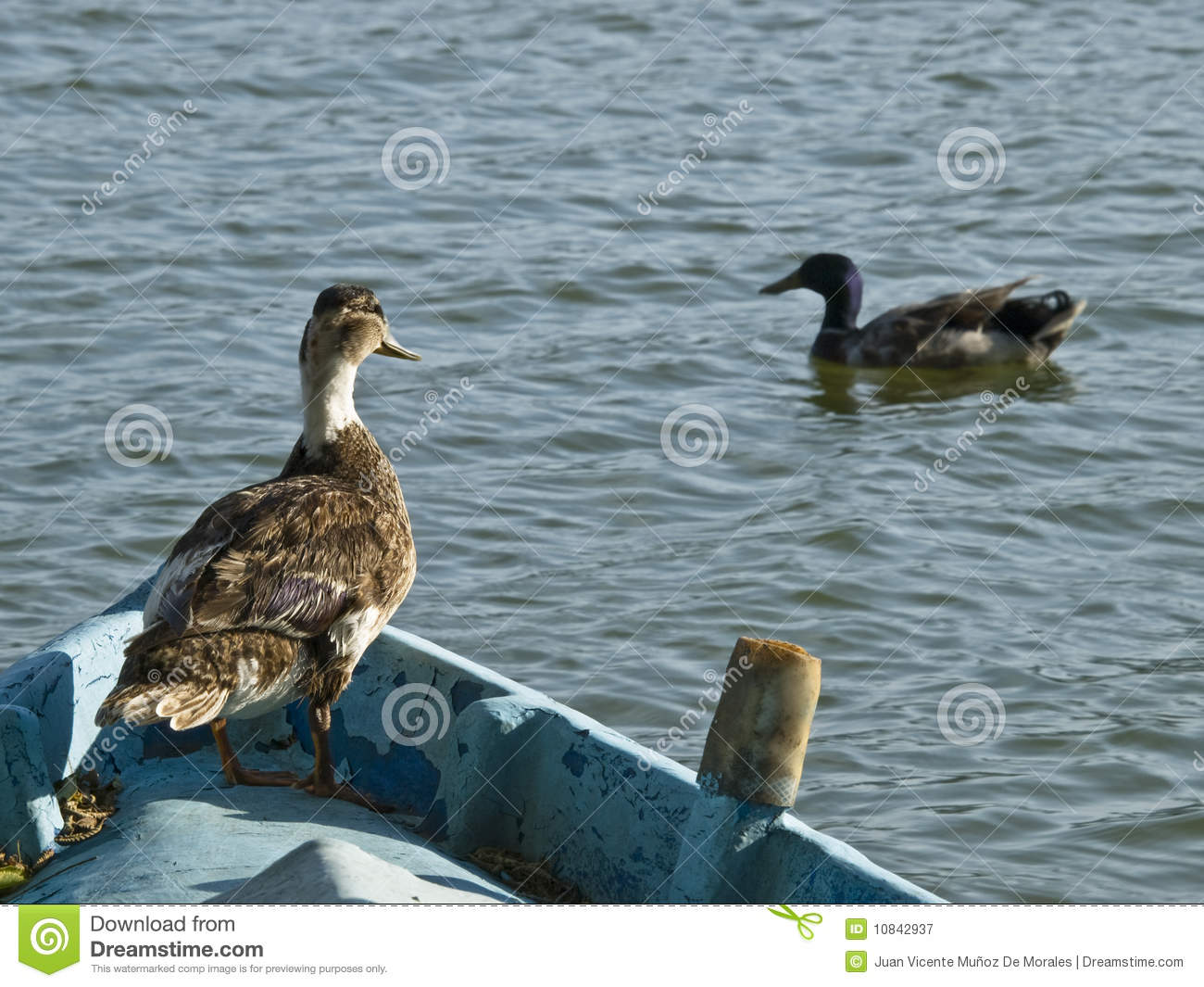 Duck on a boat royalty free stock photography image for Fishing for ducks
